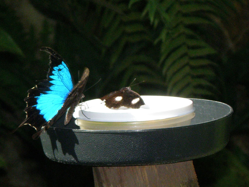 Cairns Bird wing butterfly